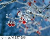 Красные ягоды калины с инеем. Стоковое фото, фотограф Александр Fanfo / Фотобанк Лори