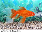 Купить «Золотая рыбка в аквариуме», фото № 6857816, снято 3 января 2015 г. (c) Григорий Писоцкий / Фотобанк Лори