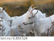Купить «Козы», эксклюзивное фото № 6859524, снято 21 сентября 2014 г. (c) Дмитрий Неумоин / Фотобанк Лори