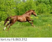 Рыжая лошадь скачет по зеленому полю на фоне зеленых кустов. Стоковое фото, фотограф Елена Зенкович / Фотобанк Лори
