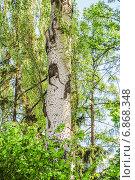 Купить «Тополь белый, или Тополь серебрстый (Populus alba) весной», эксклюзивное фото № 6868348, снято 12 мая 2014 г. (c) Алёшина Оксана / Фотобанк Лори