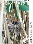 Купить «Гнездо. Камышовка дроздовидная. Nest. Great Reed Warbler (Acrocephalus arundinaceus).», фото № 6873576, снято 13 июня 2012 г. (c) Василий Вишневский / Фотобанк Лори