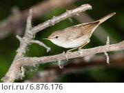 Купить «Камышовка садовая. Blyth's Reed Warbler (Acrocephalus dumetorum)», фото № 6876176, снято 6 июня 2011 г. (c) Василий Вишневский / Фотобанк Лори