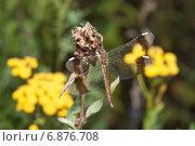 Купить «Стрекоза перевязанная - Симпетрум перевязанный (Sympetrum pedemontanum). Самка», эксклюзивное фото № 6876708, снято 28 июля 2012 г. (c) Алёшина Оксана / Фотобанк Лори