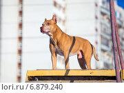 Собака породы американский питбультерьер стоит на возвышении на полигоне для собак. Стоковое фото, фотограф Сергей Лаврентьев / Фотобанк Лори