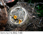 Купить «Гнездо с птенцами певчего дрозда», фото № 6882148, снято 25 мая 2013 г. (c) Илья Ладнев / Фотобанк Лори