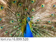 Indian Peafowl. Стоковое фото, фотограф Яков Филимонов / Фотобанк Лори