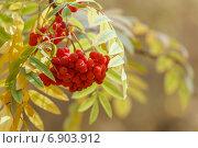 Купить «Плоды рябины на фоне желтых листьев», фото № 6903912, снято 27 сентября 2014 г. (c) Йомка / Фотобанк Лори
