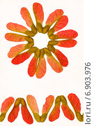 Купить «Узор из семян клена красного», фото № 6903976, снято 29 июня 2014 г. (c) Йомка / Фотобанк Лори