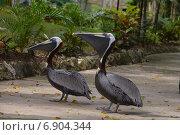 Карибский пеликан (2014 год). Редакционное фото, фотограф Васильева Екатерина / Фотобанк Лори