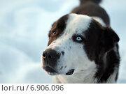 Собака с разноцветными глазами. Стоковое фото, фотограф Мария Фомичева / Фотобанк Лори