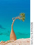 Маленькое бутылочное дерево. Стоковое фото, фотограф Вадим Козуренко / Фотобанк Лори