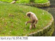 Рыжая обезьяна. Стоковое фото, фотограф Евгений Питомец / Фотобанк Лори