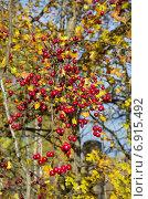 Спелые ягоды боярышника на ветке. Стоковое фото, фотограф Елена Коромыслова / Фотобанк Лори
