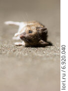 Купить «Berlin, Germany, a dead mouse», фото № 6920040, снято 29 апреля 2014 г. (c) Caro Photoagency / Фотобанк Лори
