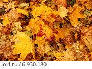 Купить «Опавшие кленовые листья», фото № 6930180, снято 10 октября 2009 г. (c) Tatiana Tetereva / Фотобанк Лори