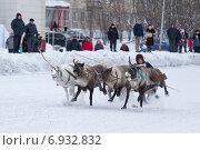 Гонки на оленьих упряжках, коми (2013 год). Редакционное фото, фотограф Оксана Кабрина / Фотобанк Лори