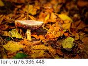 Купить «Гриб-поганка на фоне опавшей осенней листвы», фото № 6936448, снято 20 октября 2012 г. (c) Tatiana Tetereva / Фотобанк Лори