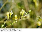Купить «Ветка вербы ранней весной», фото № 6937168, снято 23 марта 2012 г. (c) Татьяна Кахилл / Фотобанк Лори