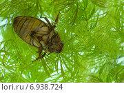 Купить «Плавунец каемчатый», фото № 6938724, снято 16 апреля 2009 г. (c) Дмитрий Жуков / Фотобанк Лори