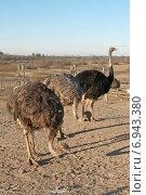 Купить «Страусиная ферма», эксклюзивное фото № 6943380, снято 6 января 2015 г. (c) Svet / Фотобанк Лори