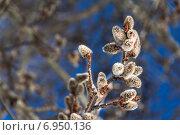 Веточки вербы. Стоковое фото, фотограф Ирина Яздан Мехр / Фотобанк Лори