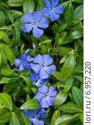 Купить «Цветущий барвинок», фото № 6957220, снято 12 июня 2014 г. (c) Юлия Бабкина / Фотобанк Лори