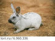 Серый кролик на ферме. Стоковое фото, фотограф Оксана Алексеенко / Фотобанк Лори