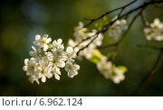 Ветка цветущей вишни. Стоковое фото, фотограф Павел Ерыкин / Фотобанк Лори