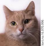 Портрет кошки персикового окраса на белом фоне. Стоковое фото, фотограф Константин Кузнецов / Фотобанк Лори