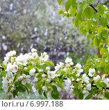 Купить «На цветущую ветку груши падают крупные хлопья снега в мае. Задний фон размыт.», фото № 6997188, снято 7 мая 2014 г. (c) Светлана Шимкович / Фотобанк Лори