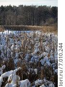Заросли рогоза зимой. Стоковое фото, фотограф Евгений Виноградов / Фотобанк Лори
