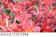 Купить «Розовые лилии», фото № 7013844, снято 8 августа 2014 г. (c) Александр Карпенко / Фотобанк Лори