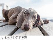 Веймарская Легавая. Стоковое фото, фотограф Сергей Тарасов / Фотобанк Лори