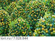 Купить «Новогоднее дерево. Kumquat trees for Tet (Vietnamese New Year)», фото № 7028844, снято 17 февраля 2015 г. (c) Александр Подшивалов / Фотобанк Лори