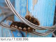 Гусеница на проволоке. Стоковое фото, фотограф Виктор Сафронов / Фотобанк Лори