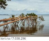Сосны поваленные в воду и их отражение. Стоковое фото, фотограф Синицын Юрий Альбертович / Фотобанк Лори