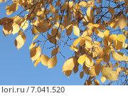 Купить «Осенние листья ольхи на фоне голубого неба. Золотая осень», эксклюзивное фото № 7041520, снято 21 октября 2013 г. (c) Ирина Водяник / Фотобанк Лори