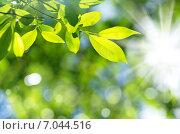 Купить «Яркий фон из свежих зеленых листьев», фото № 7044516, снято 25 июня 2014 г. (c) Икан Леонид / Фотобанк Лори