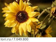 Пчела на подсолнухе. Стоковое фото, фотограф Петренко Иван / Фотобанк Лори