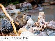 Купить «Нутрия», фото № 7059116, снято 20 февраля 2015 г. (c) Галина Савина / Фотобанк Лори