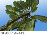 Молочай(Euphorbia) leuconeura на голубом фоне. Стоковое фото, фотограф Митрофанов Роман / Фотобанк Лори