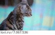 Купить «Портрет кошки», видеоролик № 7067536, снято 2 октября 2014 г. (c) Потийко Сергей / Фотобанк Лори