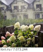 Куст гортензии в саду во время ливня. Стоковое фото, фотограф Svetlana Mihailova / Фотобанк Лори