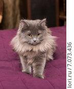Купить «Маленький персидский котенок», фото № 7073436, снято 6 января 2015 г. (c) Okssi / Фотобанк Лори