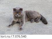 Шотландский вислоухий кот отдыхает. Кот породы scottish fold. Стоковое фото, фотограф Владимир Сергеев / Фотобанк Лори