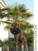 Купить «Пальмовые деревья, растущие на севере Италии», фото № 7079724, снято 29 марта 2007 г. (c) Робул Дмитрий / Фотобанк Лори