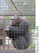 Купить «Взрослая шимпанзе сидит за решеткой», фото № 7080244, снято 9 августа 2014 г. (c) Игорь Долгов / Фотобанк Лори