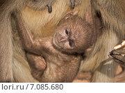 Купить «Детеныш лангура на руках у матери», фото № 7085680, снято 25 января 2015 г. (c) Вячеслав Беляев / Фотобанк Лори