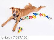 Купить «Собака лежит на белом фоне», фото № 7087156, снято 14 октября 2014 г. (c) Asja Sirova / Фотобанк Лори